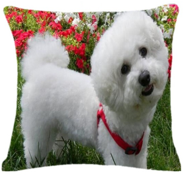 Bichon Frise With Red Collar