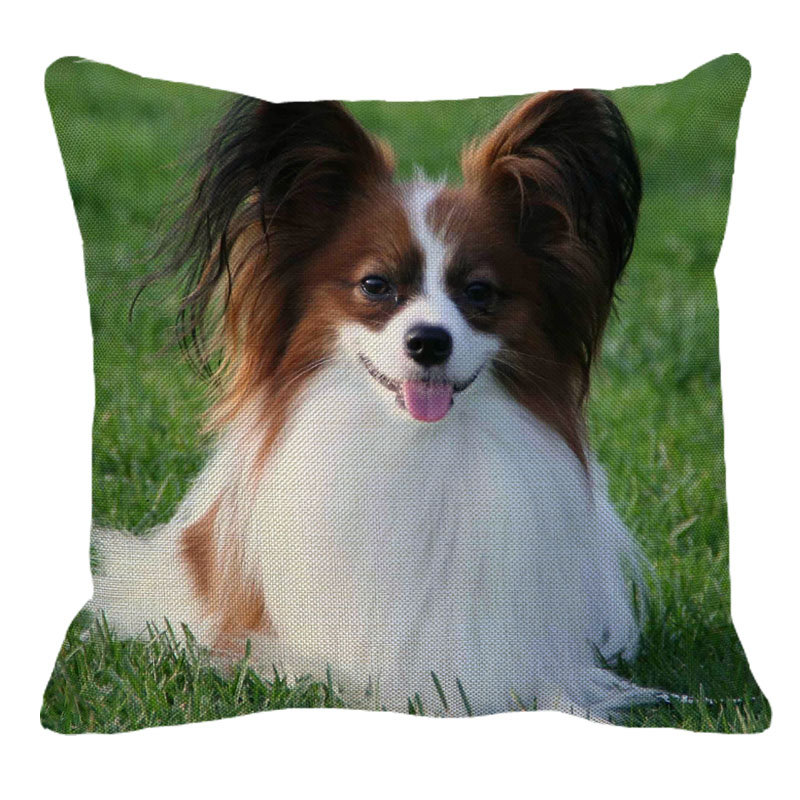 Brown and White Papillion